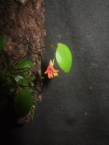 Lepanthes domingensis