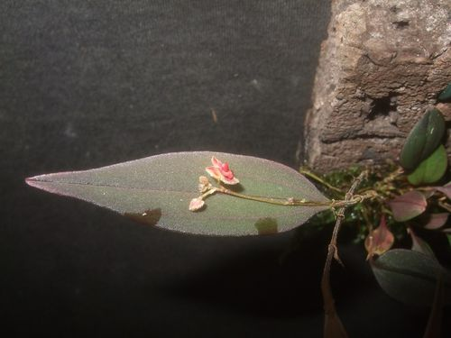 Lepanthes spec. fishbone (aristata)